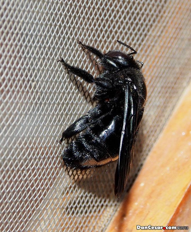 The carpenter bee – Xylocopa spp