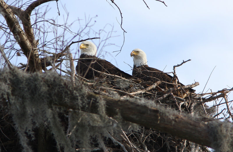 Bald Eagles - Young and Beautiful