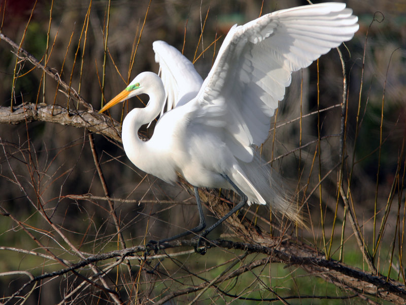 Great White Egret looking for nesting material