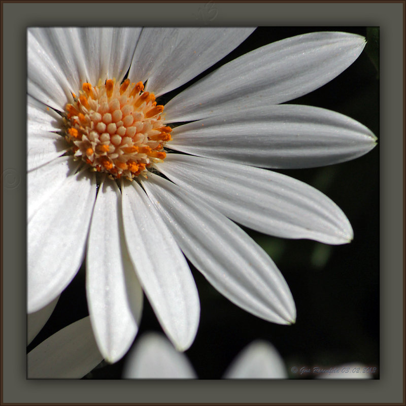 A Daisy Left By The Lion On The Way To The Lamb