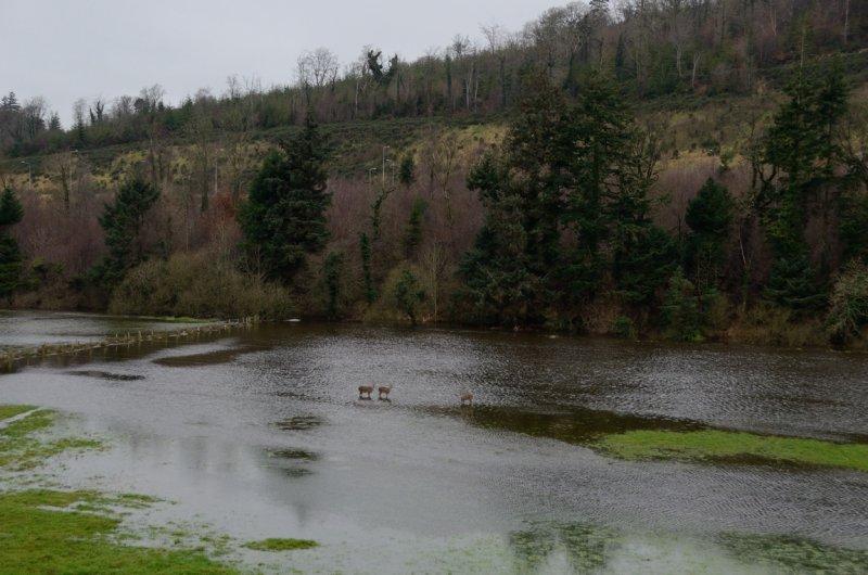 Deers in Flood