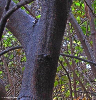 Blue beech trunk (Carpinus caroliniana)