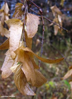 Blue beech seeds (Carpinus caroliniana)