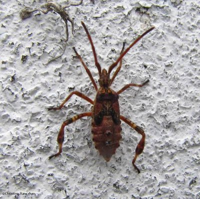 Western conifer seed bug  nymph (Leptoglossus occidentalis)