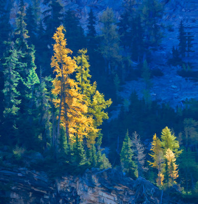 Glowing Larch