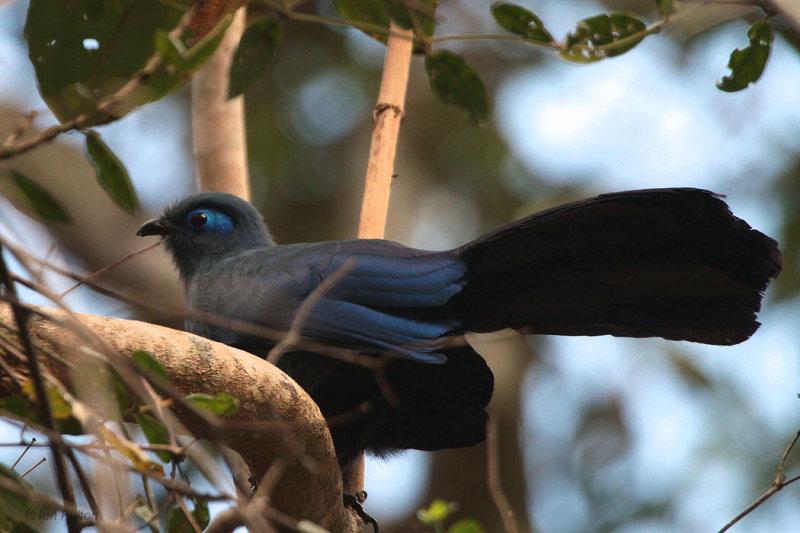 Blue Coua, Mantadia NP, Madagascar