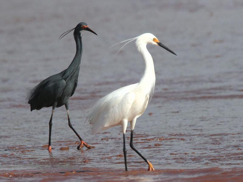Dimorphic Egret, Betsiboka Estuary, Madagascar