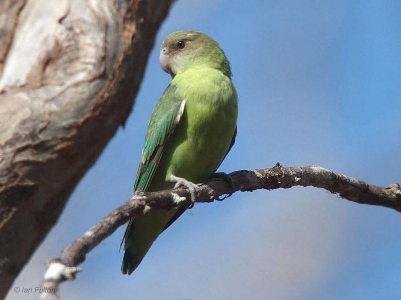 Grey-headed Lovebird, Kirindy NP, Madagascar