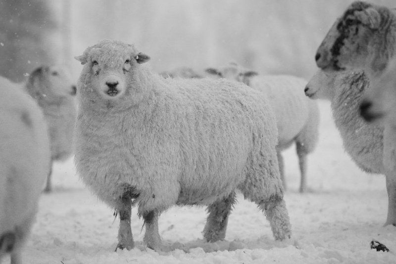 20130213 - Snowy Sheep
