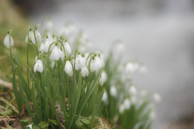 20130222 - Snowdrops by the Stream
