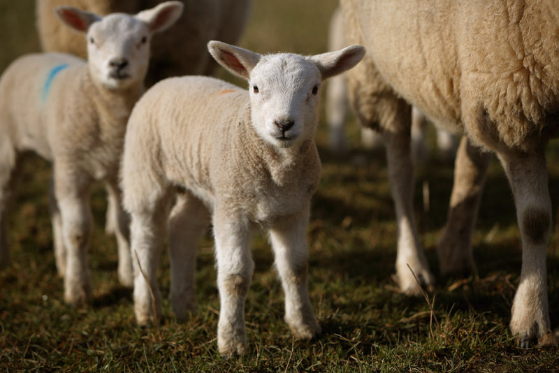 20130314 - Mini Sheeps