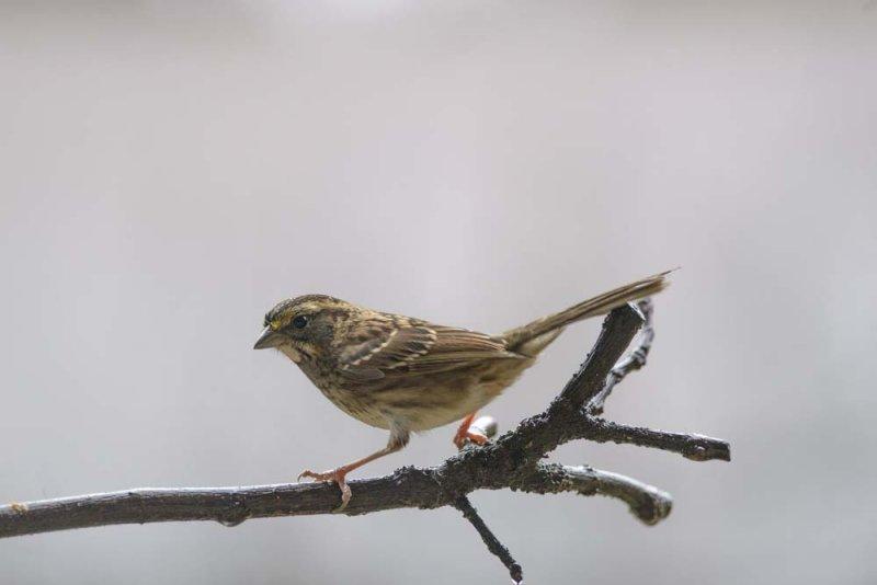 sparrow copy.jpg
