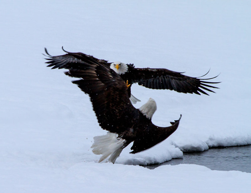 About 20 miles north of Haines, AK at a famous site where Bald Eagles congregate. IMG_9227.jpg