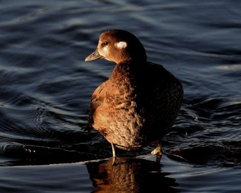 Duck, Harlequin