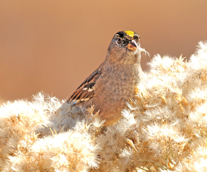 Sparrow, Golden-crowned