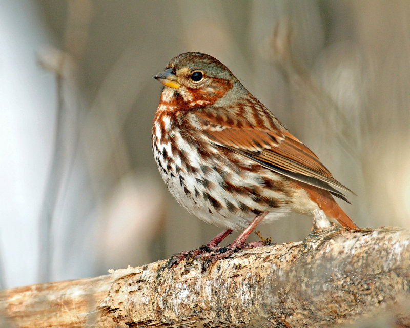 Sparrow, (Taiga) Red Fox