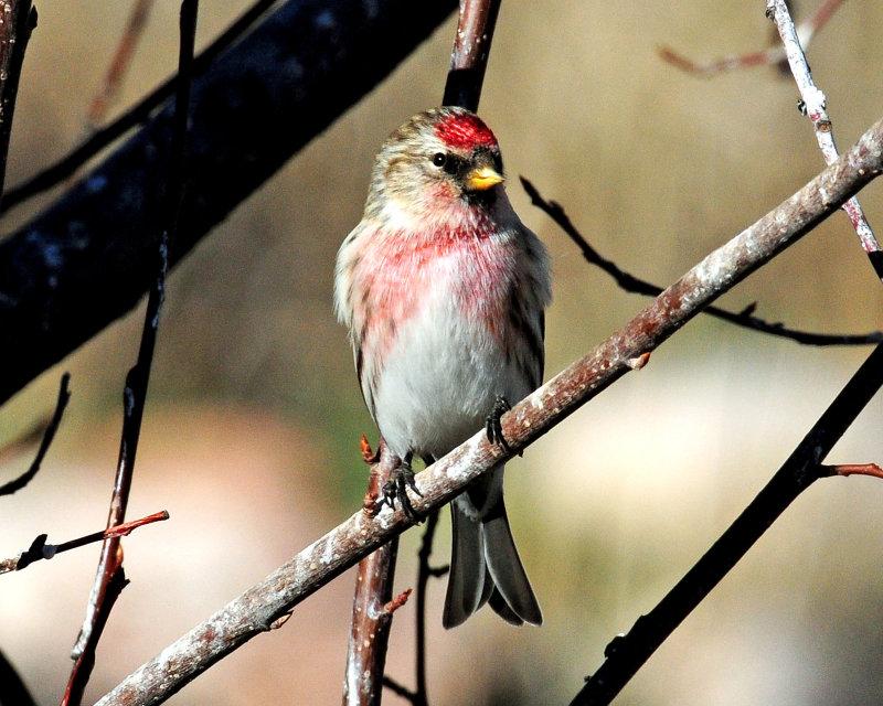 Redpoll, Common (Croydon, Morgan county)