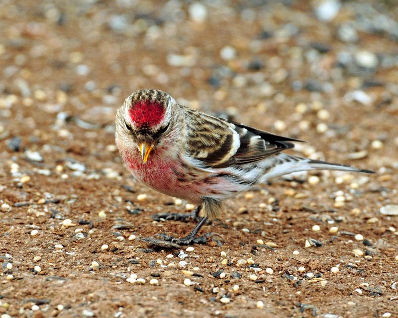 Redpoll, Common (Croydon, Morgan county)