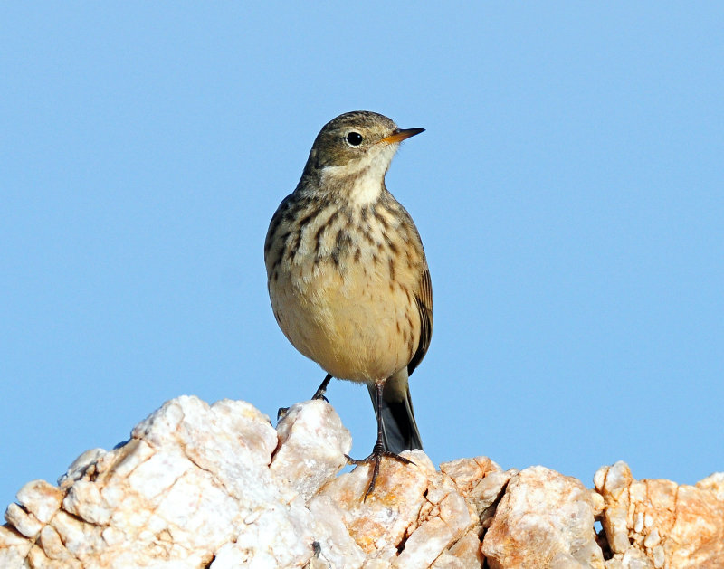 Pipits, American