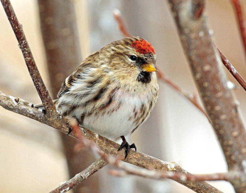 Redpoll Common D-094.jpg