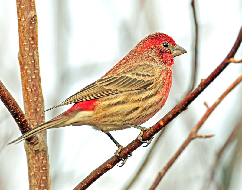 Finch, House