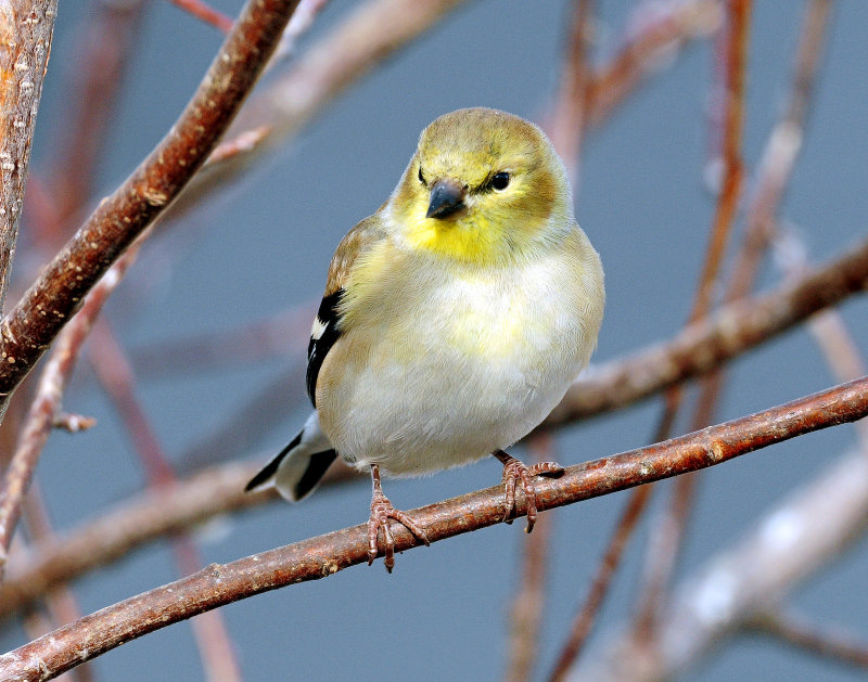 Goldfinch, American (winter plumage)