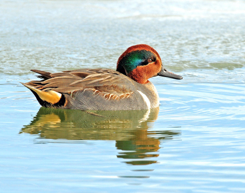 Teal, Green-winged