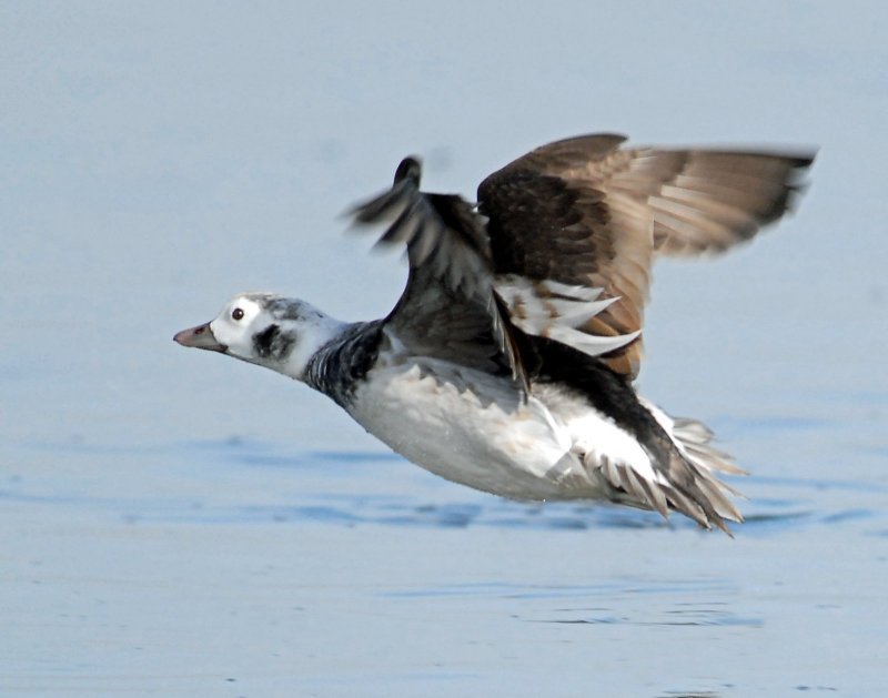 Duck, Long-tailed (Female)