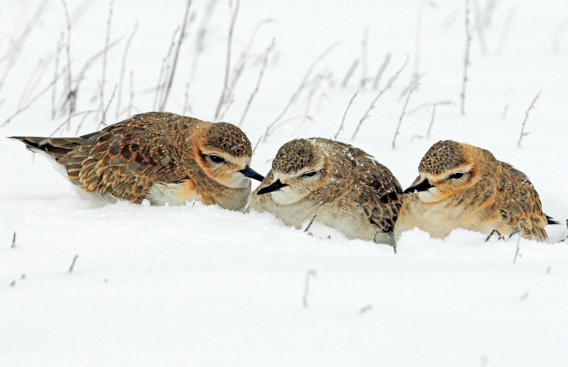 Plovers, Mountain