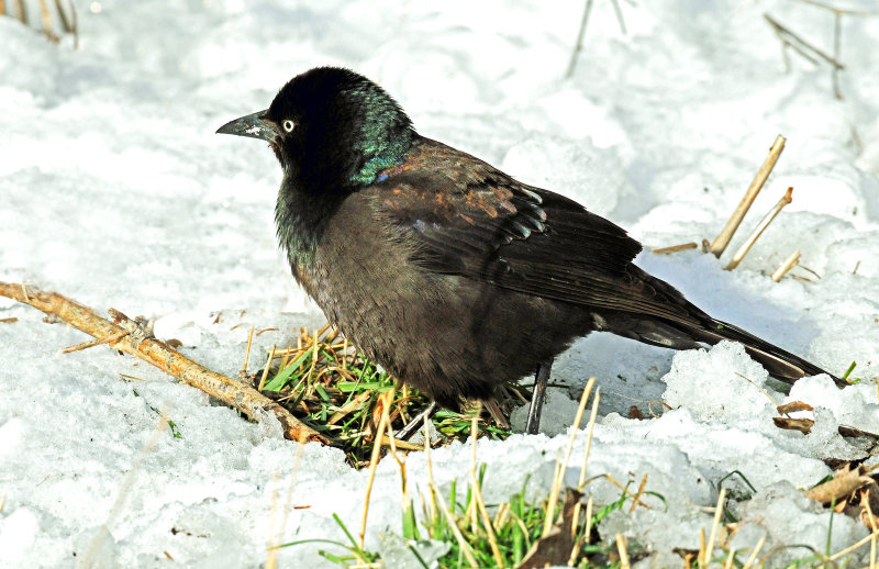 Grackle, Common