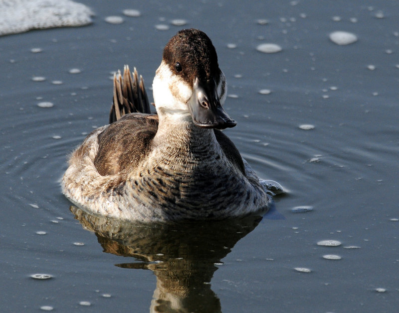 Duck, Rudy (In non-breeding plumage)
