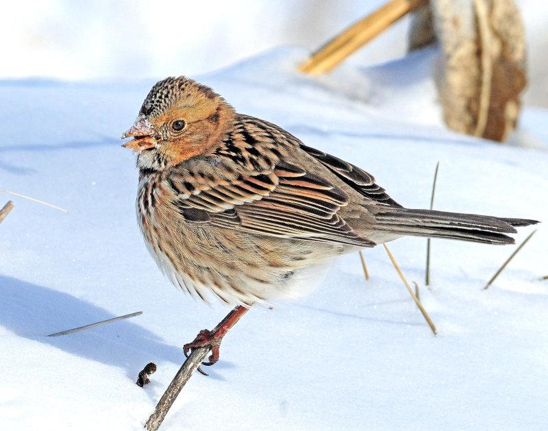 Sparrow, Harriss