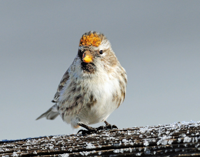 Redpoll, Common (Golden crown)
