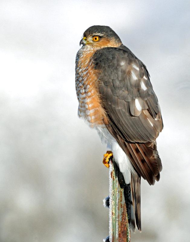 Hawk, Sharp-shinned