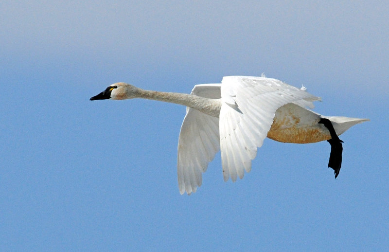 Swan Tundra D-052.jpg
