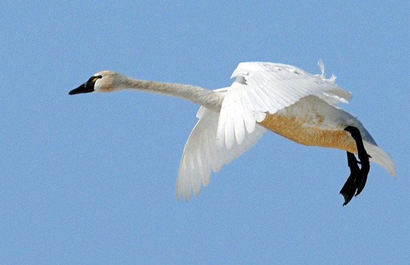Swan Tundra D-053.jpg
