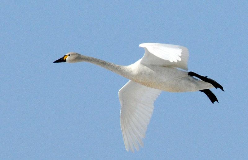 Swan Tundra D-054.jpg