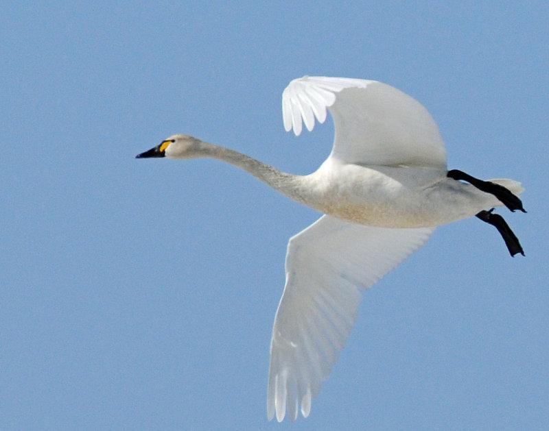 Swan Tundra D-055.jpg