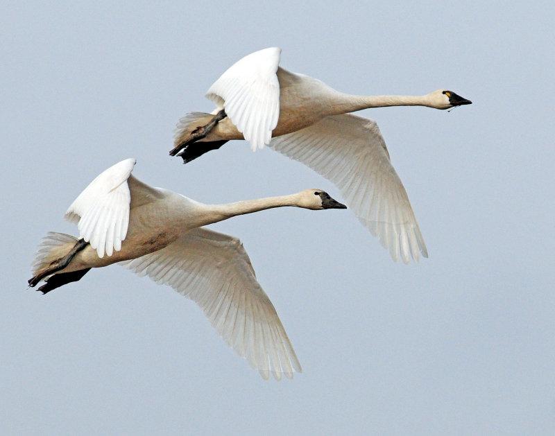 Swan Tundra D-070.jpg