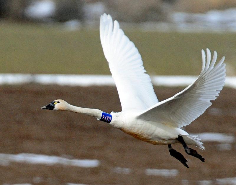 Swan Tundra D-077.jpg