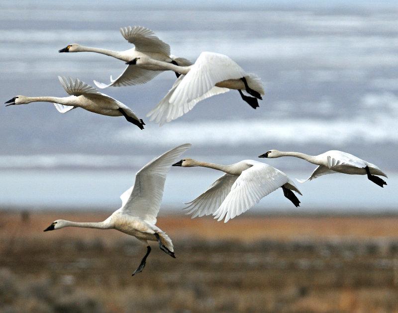 Swan Tundra D-084.jpg