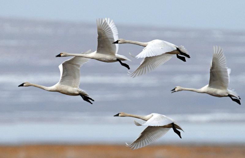 Swan Tundra D-085.jpg