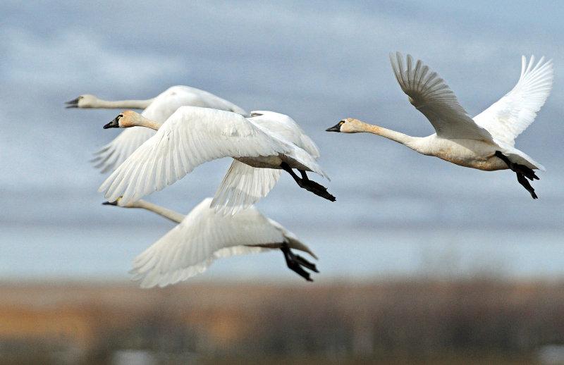 Swan Tundra D-087.jpg