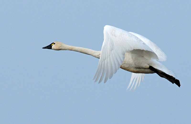 Swan Tundra D-092.jpg