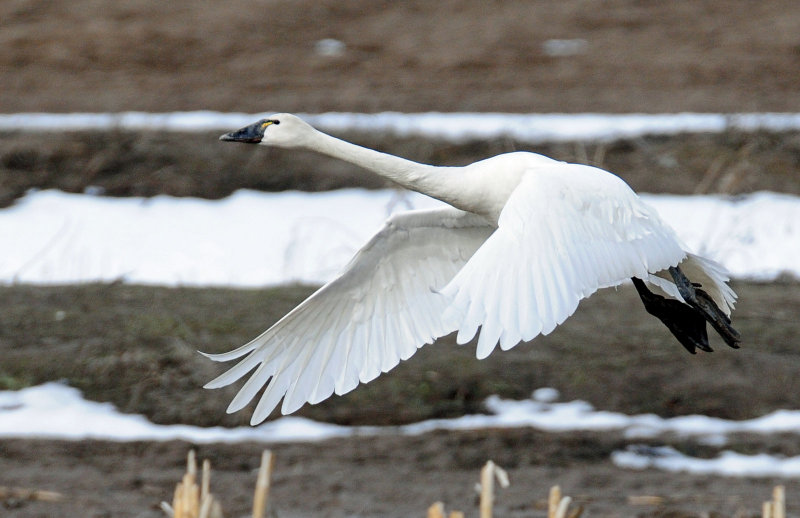 Swan Tundra D-095.jpg