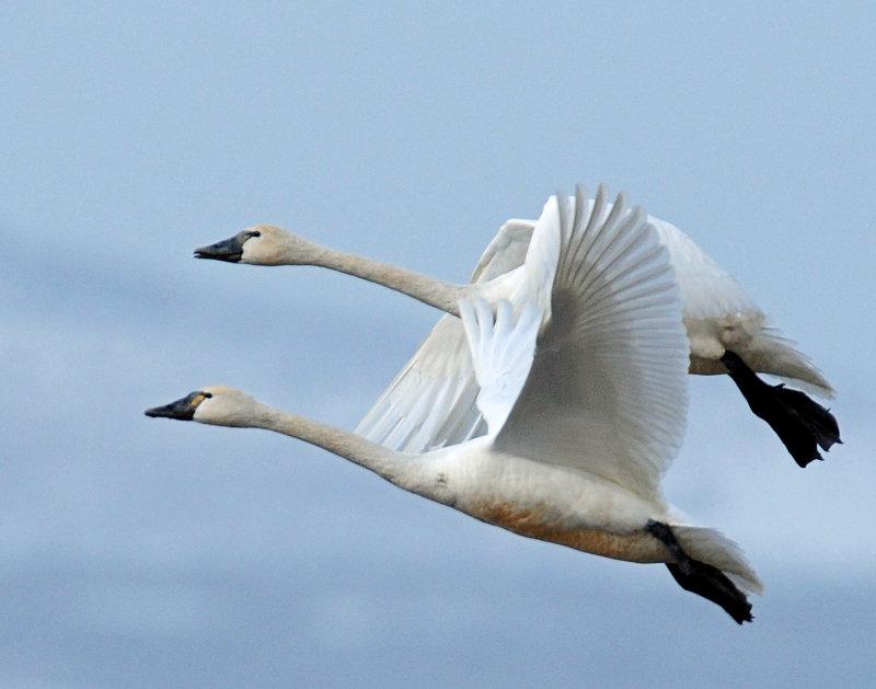 Swan Tundra D-100.jpg