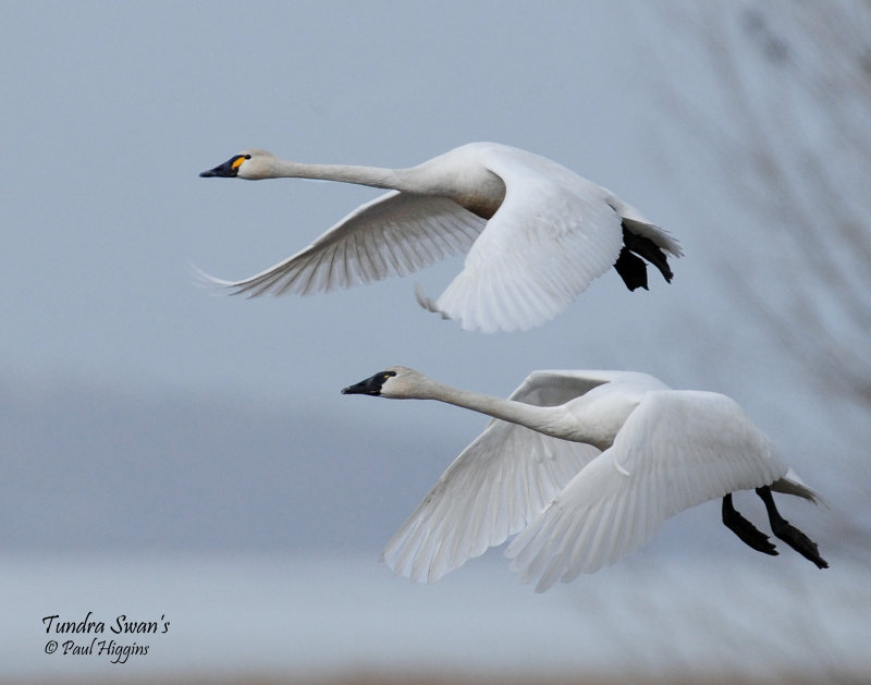 Swan Tundra D-108.jpg