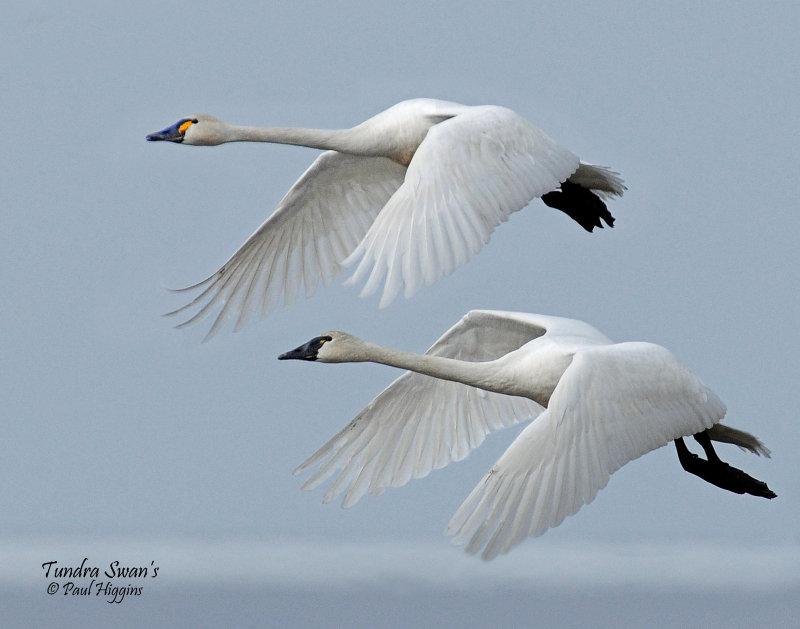 Swan Tundra D-109.jpg