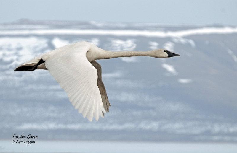 Swan Tundra D-113A.jpg