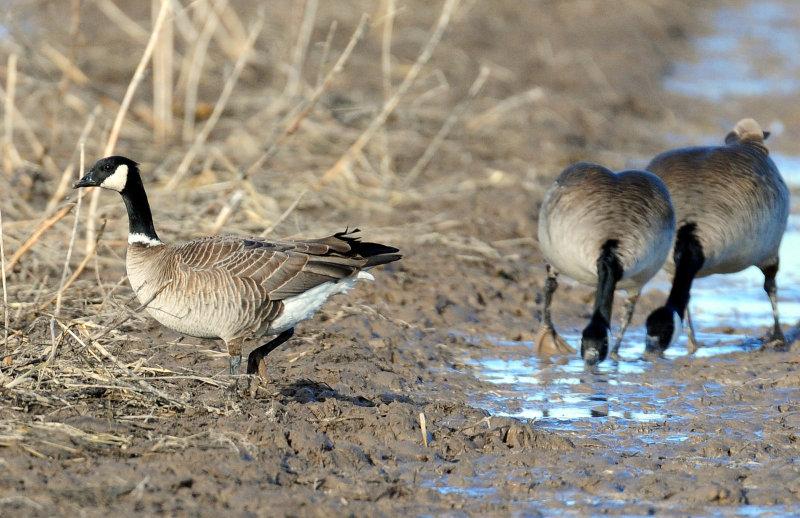 Goose, Cackling